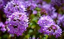 Celtic folklore says thyme gives one courage.  It attracts loyalty and even romantic love.