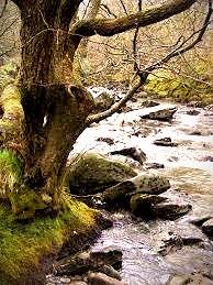 Celtic Tree Signs: The Fiery Alder