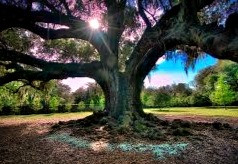 The Oak is a royal tree that represents nobility, stability, and strength.