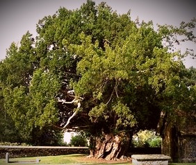 Yew trees are listed among the most poisonous plants in the world but the Celts saw the yew as a symbol of longevity and even immortality.