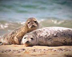 Seals or Selkies?  In Celtic lands, what you see isn't always what you get.
