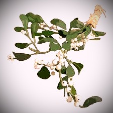 The Celts believed mistletoe was placed on trees by Taranis' lightning strikes and that the plant contained the god's essence.