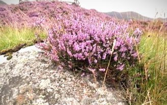 According to the definition used by the Druids, heather is a tree.