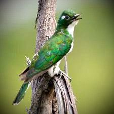 Irish folklore says that hearing a cuckoo on your wedding day is a sign the marriage will be a happy one.