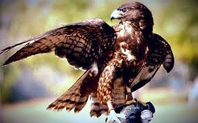 People born under the Elder Celtic Tree sign are visionaries, symbolized by the hawk.