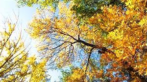 "The Ash tree has been nicknamed ""The Enchanter."""