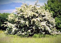 Hawthorns are faerie trees which folklore warns not to disturb.  But on Beltane, people hang ribbons and colored cloths from hawthorn trees in the hope of having their wishes granted.