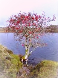 Rowan trees can grow in unusual and seemingly impossible places.