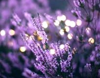 Lavender is a magical herb capable of both soothing anxieties and inflaming passions.