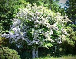 Hawthorn trees are said to be the entrance to the faerie world.