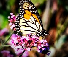 Lavender strongly attracts butterflies which may explain why Celtic folklore associated the herb with faeries.