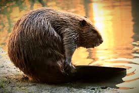Beavers are cute and industrious, but the Welsh lake monster, the Afanc, is murderous!