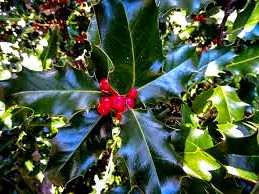 Celtic Tree Signs: A Holly in Summer
