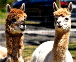 While in Cornwall, wander the wild Bodmin Moor with an Alpaca for a companion.
