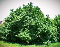 Celtic Mythology says a hazel tree stood at the center of the Otherworld.
