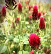 Red clover, in Celtic folklore, is a hot herb which arouses passion and cleans the blood.