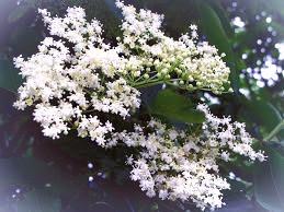 Elder tree blossoms.