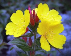 Scatter primroses in front of your front door to encourage faeries to bless your house and family.