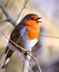 Robins are a joy to have around--unless they are tapping on your window.  That, in Irish folklore, is a sign someone is about to die.