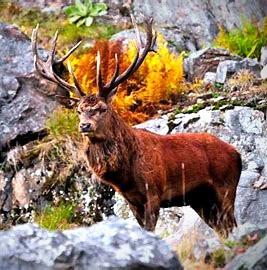 The Celtic stag symbolizes nobility.