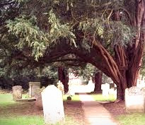 Associated with longevity, death, and resurrection, yew trees, according to Celtic folklore, were guardians of the dead.