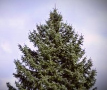 The Scots Pine, popular in the U.S. as a Christmas tree, was seen by the Celts as a symbol of rebirth and, in mid-winter, provided hope in the return of the sun.
