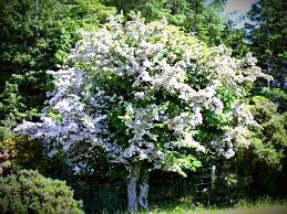 According to Celtic folklore, disturb a hawthorn tree and you will suffer the wrath of its faerie guardians!