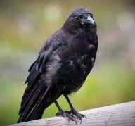 A shapeshifter, the Morrigan could take any form but, most often, she appeared as a crow.