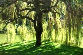 Celtic spirituality teaches that there is a spark of the Divine in everything but trees have a little something more.  Celtic folklore says that some have tree spirits or faeries living in them.