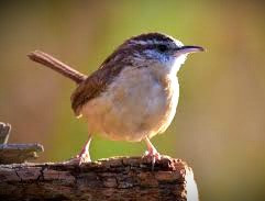The wren is a tiny bird that soars high and sings loud, intricate songs.