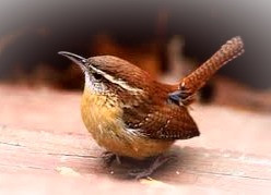 The Druids considered the wren prophetic. What is her message to you today?