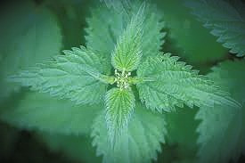 Stinging Nettle is a magic boomerang for a return-to-sender curse-breaker.