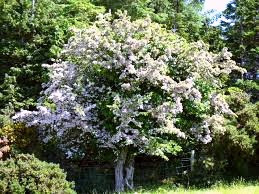 Looking for love? Wish under a hawthorn tree and you may find romance.