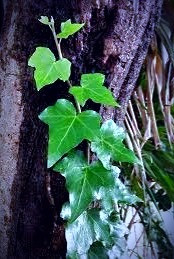 Ivy, which the Druids considered sinister but powerful, has become a symbol to the Celts of strength and determination.