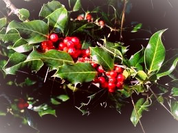 The Druids considered holly one of the two royal trees of the woods.