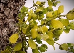 Mistletoe is a hemiparasitic plant which attaches itself to a tree and feeds on the host's nutrients.