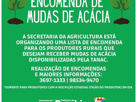 SMAMAIC disponibiliza mudas de acácia para os produtores do município