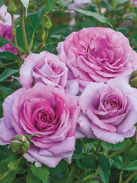 Pre-Order: Violets Pride Rose