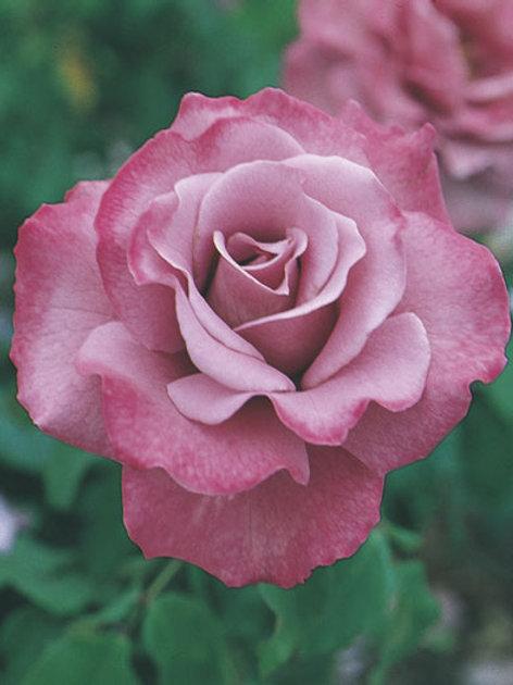 Pre-Order: Angel Face Rose