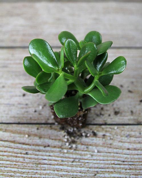 """3"""" Jade Plant (Crassula Ovata)"""