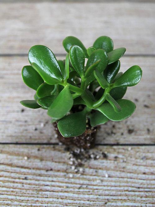 """4"""" Jade Plant (Crassula Ovata)"""