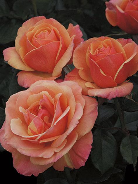 Pre-Order: Anna's Promise Rose