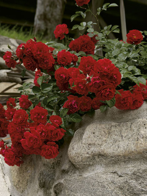 Pre-Order: Red Ribbons Rose