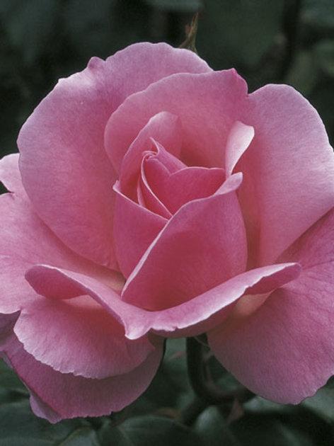 Pre-Order: Queen Elizabeth Rose
