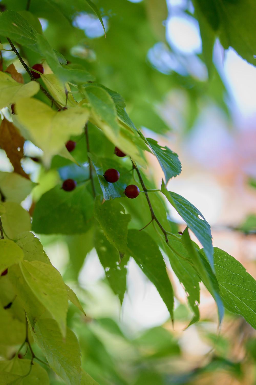 Hackberry Tree Leaves and Berries