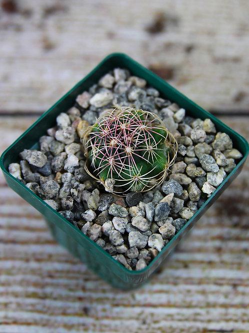 """3"""" Thelocactus Bueckii Cactus"""