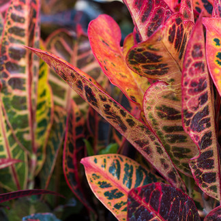 February's Plant of the Month: Croton