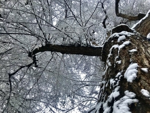 Trees After Heavy Snowfall