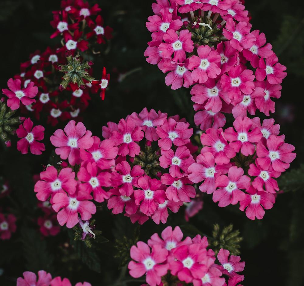 Pink and White Verbena