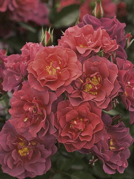 Pre-Order: Cinco De Mayo Rose